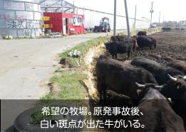 希望の牧場。原発事故後、白い斑点が出た牛がいる。
