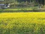 ナタネ畑1